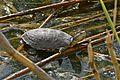 Marsh Terrapin (Pelomedusa subrufa) (32652020972).jpg