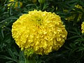Marygold from Lalbagh flower show Aug 2013 7834.JPG