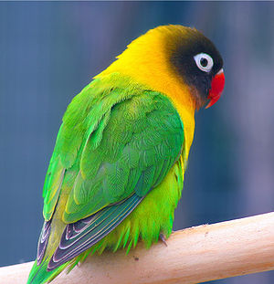 Masked Lovebird (Agapornis personata) -Auckland Zoo.jpg