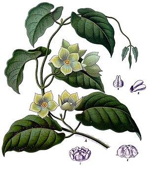 Asclepiadoideae - Image: Matelea denticulata Köhler–s Medizinal Pflanzen 067