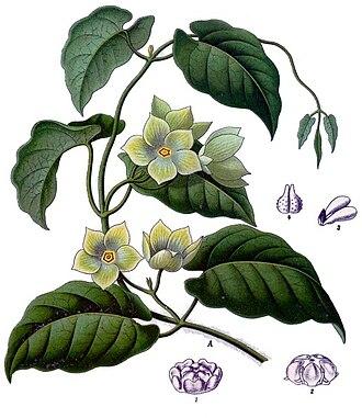 Asclepiadoideae - Matelea denticulata