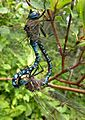 Mating Dragonflies (7632495218).jpg