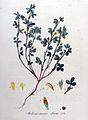 Medicago minima — Flora Batava — Volume v9.jpg