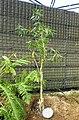 Melaleuca leucadendra - Shinjuku Gyo-en Greenhouse - Tokyo, Japan - DSC05942.jpg