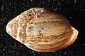 Melampus sp (I1006) D (26979859042).jpg