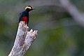 Melanerpes cruentatus Yellow-tufted Woodpecker.jpg