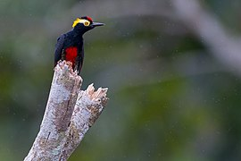 Melanerpes cruentatus Yellow-tufted Woodpecker.jpg