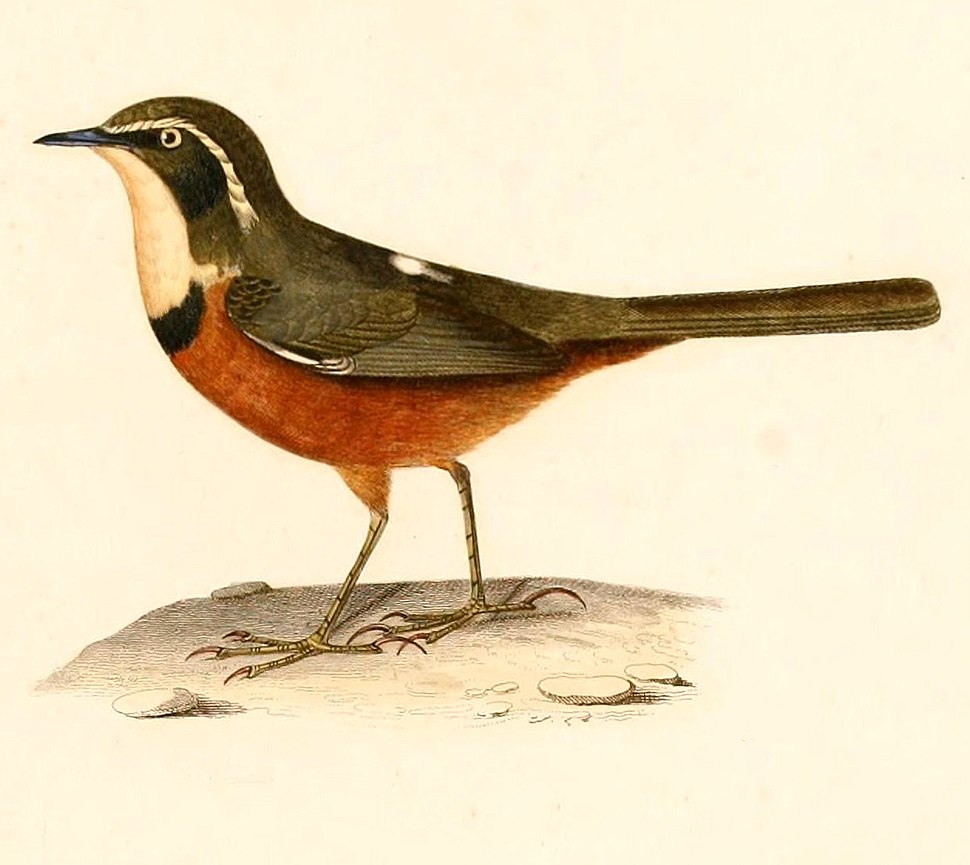 Melanopareia maximiliani 1847
