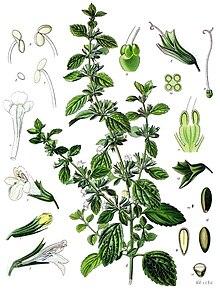 Liste de plantes pour les soins 220px-Melissa_officinalis_-_K%C3%B6hler%E2%80%93s_Medizinal-Pflanzen-094