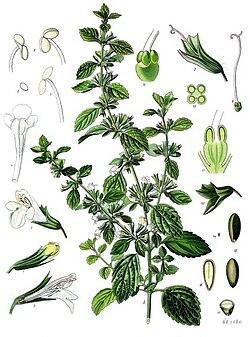 Melissa officinalis - Köhler–s Medizinal-Pflanzen-094.jpg