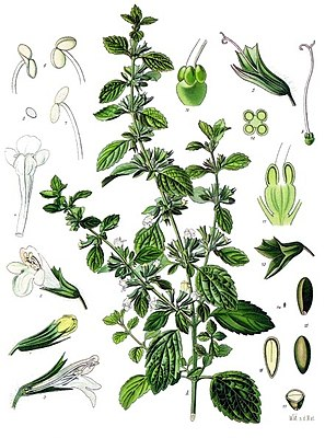 Zitronenmelisse (Melissa officinalis), Illustration