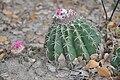 Melocactus curvispinus - The Tatacoa Desert (4925034053).jpg