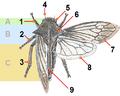 Membracidae-Centrotus-cornutus.png
