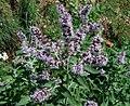 Mentha longifolia ssp. longifolia PID2013-1.jpg