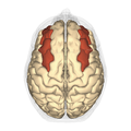 Middle frontal gyrus - anteriior view.png