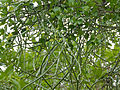 Milk Rope (Cynanchum viminale) (11732977825).jpg