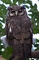 Milky Eagle Owl (6021868925).jpg