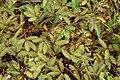 Mimosa pudica 6585.jpg
