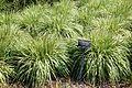 Molinia caerulea - VanDusen Botanical Garden - Vancouver, BC - DSC06736.jpg