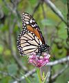 Monarch Butterfly (20385539243).jpg