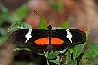 Montane longwing (Heliconius clysonymus montanus).jpg
