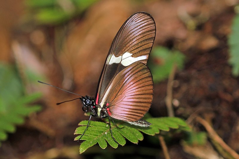 Bộ sưu tập cánh vẩy 4 - Page 46 800px-Montane_longwing_%28Heliconius_clysonymus_montanus%29_underside