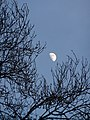 Moon through the trees at Ebbor Gorge - panoramio.jpg