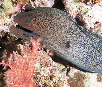 Giant moray - Image: Moray 6