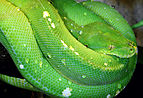 Morelia-viridis-baumpython.jpg