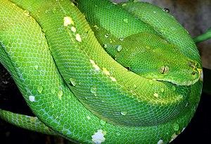 English: Green tree python, Morelia viridis, F...