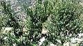 Moroccan Nectarine plant.jpg