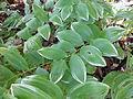 Morris Arboretum Camellia japonica.JPG