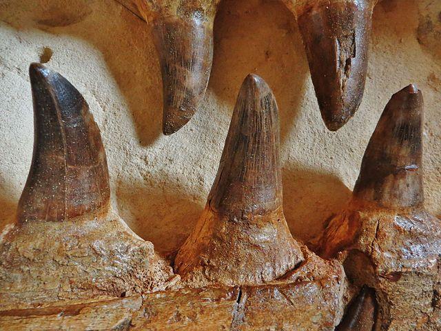 Dents Mosasaurus