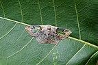 Moth (Carriola sp) 7169.jpg