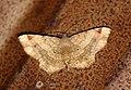Moths from Parambikulam T R -013.jpg