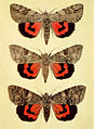 Moths of the British Isles Series2 Plate031.jpg