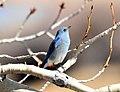 Mountain Bluebird Seedskadee National Wildlife Refuge (16779933866).jpg