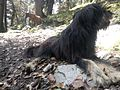 Mountain Dog Relaxing.jpg