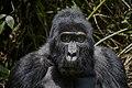 Mountain gorilla (Gorilla beringei beringei) 25.jpg