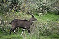 Mountain nyala, Bale Mountains National Park (11) (28669794044).jpg