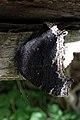 Mourning Cloak (Nymphalis antiopa) - Kitchener, Ontario.jpg