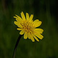 Mouse-ear hawkweed (Pilosella officinarum).jpg
