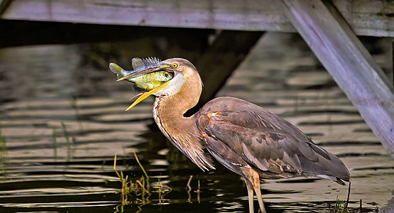 A Green Heron in Jacksonville, Florida eating a fish for its meal