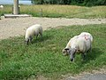 Moutons (06).jpg
