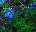 Mt. McKinley area - midnight flower pictures (5856986389).jpg