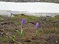 Mt. Parnassus Crocus veluchensis.jpg