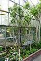 Murraya koenigii - Gora Park - Hakone, Kanagawa, Japan - DSC08537.jpg