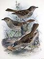 Myadestes lanaiensis lanaiensis.jpg