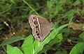 Mycalesis mineus – Dark-branded Bushbrown 07.jpg
