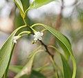 Myoporum montanum flower.jpg
